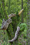 Dumeril's boa (Acrantophis dumerili)<br /> Berenty<br /> South Madagascar<br /> MADAGASCAR<br /> ENDEMIC<br /> climbing on Didiereaceae