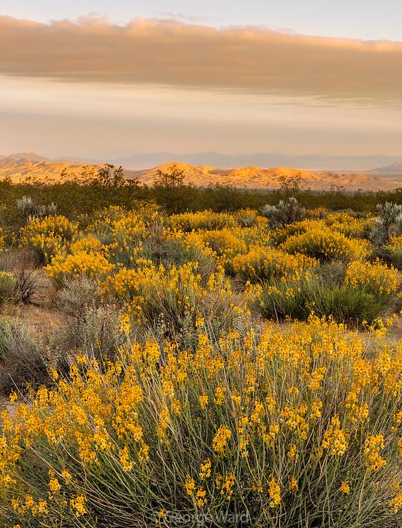 Rush Milkweed and Kelso Dunes at Sunrise, Mojave National Preserve, California