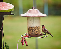 House Finch. Image taken with a Nikon D850 camera and 200 mm f/2 VR lens