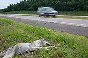 A dead gray wolf struck by a vehicle lies dead along Highway 53 near Minong, Wisconsin as a vehicle speeds past.