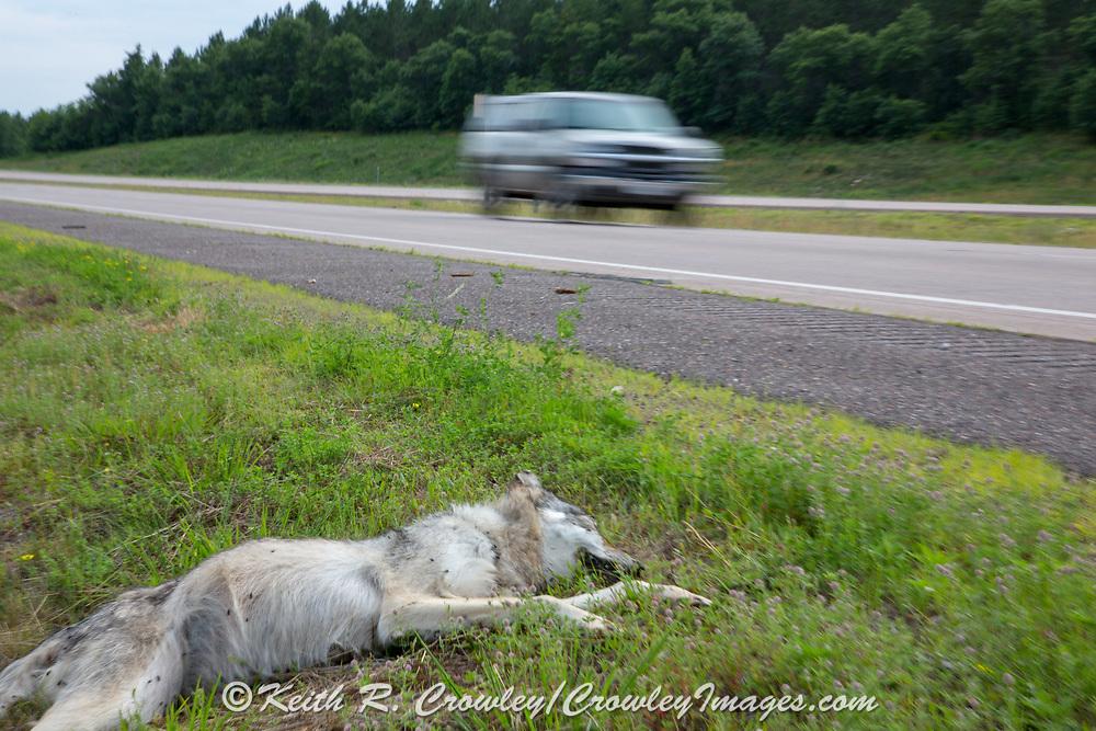 A dead gray wolf struck by a vehicle lies dead along Highway 53 near Minong, Wisconsin as a vehicle speeds past.
