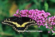 03009-01406 Black Swallowtail (Papilio polyxenes) male on Butterfly Bush (Buddleia davidii) Marion Co. IL