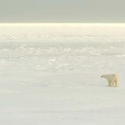 Polar Bear (Ursus maritimus) A large male tests out the newly forming ice off the shore of Cape Churchill, near Churchill, Manitoba. November.