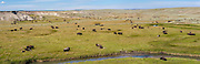 Bison herd in the Hayden Valley during the rut in Yellowstone National Park