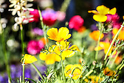 flowering garden. Yellow blooming flowers