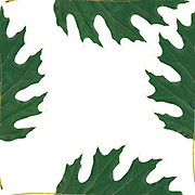 tile of a Repeating oak leaf photograph design green on white