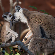 Ring-tailed lemur mother grooming her young baby. Berenty Reserve, Madagascar