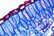 Section of a Rosemary leaf, chemically stained to show detail. Magnification was 40X on the 35mm sensor.