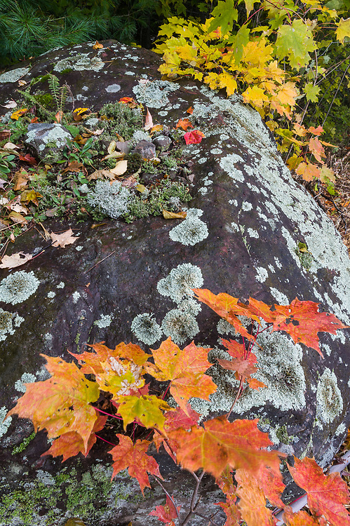 Autumn leaves, boulder with lichens, October, Ottawa National Forest, Upper Peninsula, Michigan,  USA