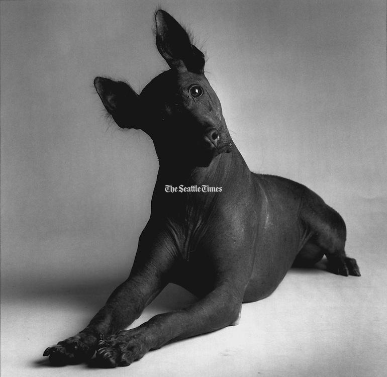 Pacha, an Inca hairless dog, is one of the world's rarest breeds. (Benjamin Benschneider / The Seattle Times, 1992)
