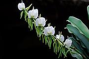 Angraecum Orchid, Madagascar