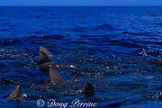 dorsal fins of gray reef sharks, Carcharhinus amblyrhynchos, break the surface when attracted to surface by bait, Bikini Atoll, Marshall Islands, Micronesia ( Central Pacific Ocean )