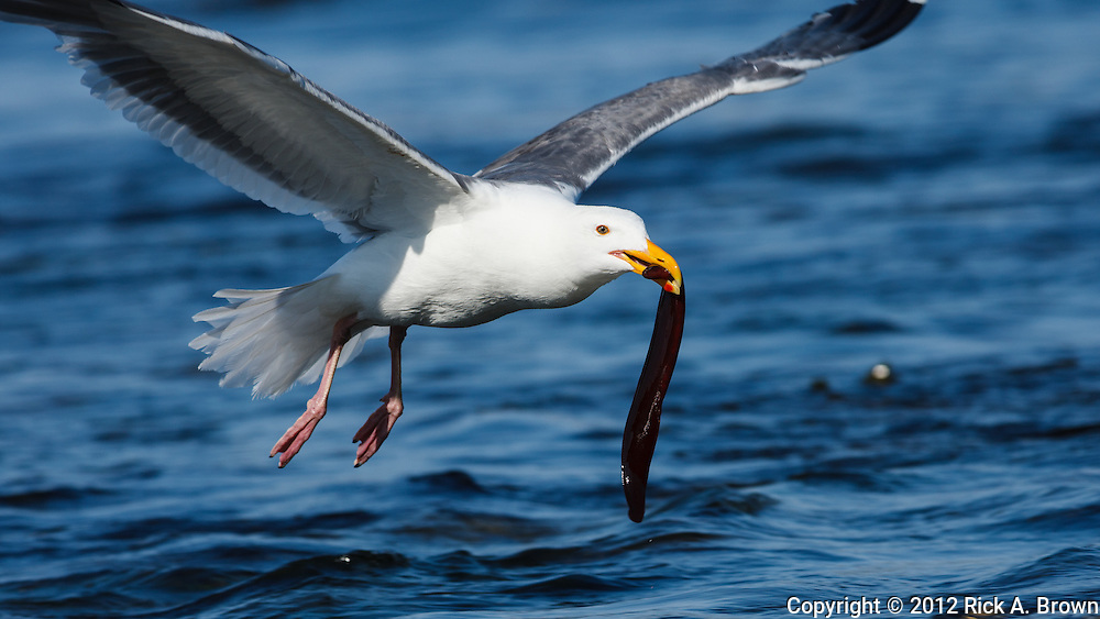 USA, Oregon, Newport, Yaquina Head, NLCS, a Western Gull (Larus occidentalis) with an eel