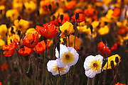 Poppy Flowers: Lompoc, California.