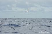 brown noddy terns, Anous stolidus, and white terns, Gygis alba, mark a school of skipjack tuna, Vava'u, Kingdom of Tonga, South Pacific