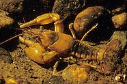 Northern Clearwater Crayfish, Underwater
