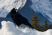 Common raven (Corvus corax) on Parker Ridge. Icefields Parkway<br />Banff National Park<br />Alberta<br />Canada