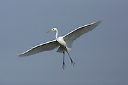 Great Egret - Ardea alba. Adult in breeding plumage