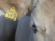 Close up of cow with yellow ear mark
