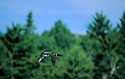 Common loon in flight - Quebec, Canada.