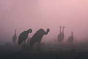 Roosting common cranes (Grus grus) in peatland in sunrise illuminated foggy morning, Kemeri National Park (Ķemeru Nacionālais parks), Latvia Ⓒ Davis Ulands | davisulands.com