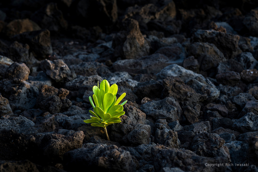 Single Hinahina kukahakai plant (Heliotropium anomalum var. argenteum) growing in rocks near Keauhou district, Kailua Kona, Hawaii