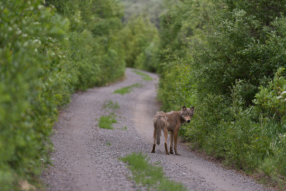 A wolf stand on the Valley Road in Katmai National Park & Preserve, Alaska