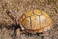 An eastern box turtle's shell shows signs of damage, most likely from a predator trying to get a meal.