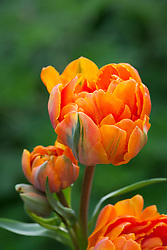 Tulipa 'Orange Princess'