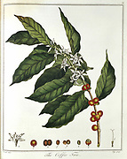 Sprig of Coffee (Coffea arabica) showing flowers and beans. Hand-coloured engraving published London 1798