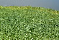 Floating marshpennywort, Hydrocotyle ranunculoides, at Abbotts Lagoon, Point Reyes National Seashore, California