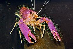 red reef lobster, Enoplometopus occidentalis, Hawaii, Pacific Ocean (c)