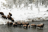 A herd of bison cross the Firehole River during the winter in Yellowstone