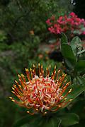 Pincushion protea, Kula Botanical Gardens, Maui, Hawaii<br />
