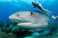 Tiger Shark with curious Remoras<br /> <br /> Shot in Bahamas