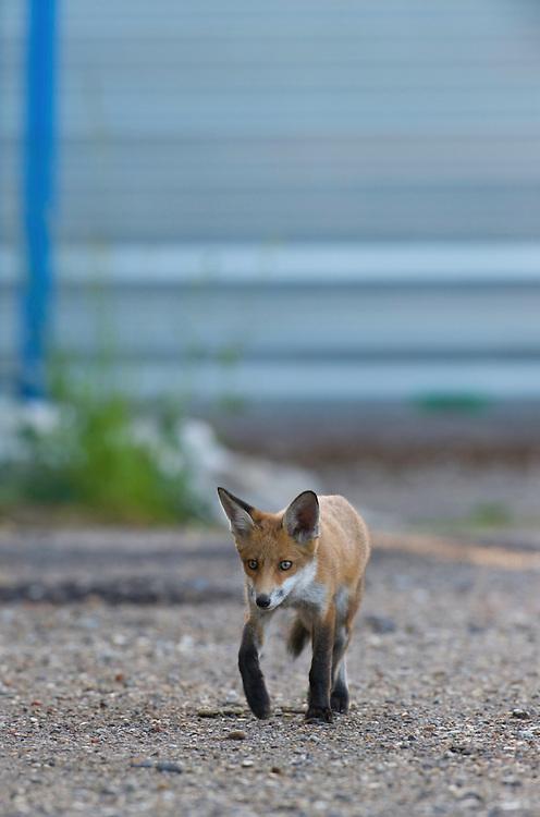 Urban fox (Vulpes vulpes) in London, United Kingdom