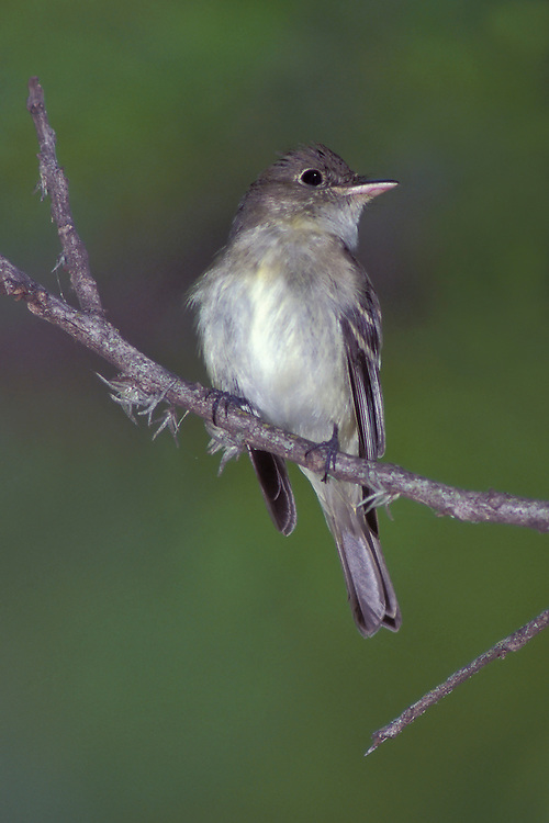 Acadian Flycatcher - Empidonax virescens