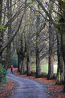 country lane lined with beech trees walker in red.