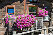 Pink flower boxes on old wood buildings. Winkelmatten, a suburb of Zermatt, in the Pennine Alps, Switzerland, Europe.