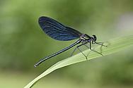 Beautiful Demoiselle - Calopteryx virgo