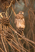 Common kestrel (Falco tinnunculus) perched on a branch. This bird of prey is a member of the falcon (Falconidae) family. It is widespread in Europe, Asia, and Africa, and is sometimes found on the east coast of North America. Photographed in Israel in June