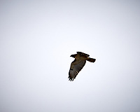 Red-tailed Hawk in flight at the Sourland Mountain Preserve. Image taken with a Nikon D300 camera and 18-200 mm VR lens (ISO 200, 200 mm, f/7.1, 1/200 sec).