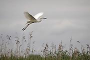 Great White Egret, Ardea alba, Hungary