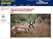 Pronghorn in Yellowstone National Park, Wyoming, by Dave Walsh, in the Guardian, February 2020