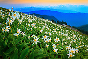 Avalanche lilies along Hurricane Ridge in Washington state's Olympic National Park.  Olympic National Park is located in the U.S. state of Washington, in the Olympic Peninsula. The park can be divided into four basic regions: the Pacific coastline, alpine areas, the west side temperate rainforest and the forests of the drier east side. U.S. President Theodore Roosevelt originally created Mount Olympus National Monument in 1909 and after Congress voted to authorize a re-designation to National Park status, President Franklin Roosevelt signed the legislation June 29, 1938. In 1976, Olympic National Park became an International Biosphere Reserve, and in 1981 it was designated a World Heritage Site. In 1988, Congress designated 95 percent of the park as the Olympic Wilderness