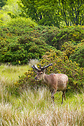 Red deer stag, Cervus elaphus, young male with velvet type antlers in woodland at Lochranza, Isle of Arran, Scotland