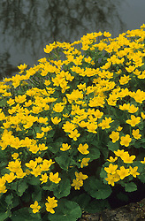 Caltha palustris - Kingcup, Marsh marigold