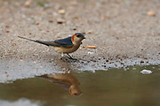 Red-rumped Swallow, Hirundo daurica approaching puddle to collect mud in Extremadura, Spain<br /> nature<br /> wildlife<br /> Spain<br /> Extremadura<br /> swallow<br /> reflection<br /> passerine<br /> migrant<br /> mud<br /> nest building<br /> Hirundo daurica<br /> Hirundo<br /> mud nest