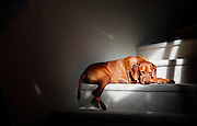 """SHOT 12/31/11 11:55:21 AM - Photos of Tanner, a seven year-old male Vizsla, sleeping in the sun on the steps of my parents house in in Albuquerque, N.M. The Vizsla, as described in the American Kennel Club (AKC) standard, is a medium-sized short-coated hunting dog of distinguished appearance and bearing. Robust but rather lightly built; the coat is a golden-rust color. The coat could also be described as a copper/brown color. They are lean dogs, and have defined muscles, and are similar to a Weimaraner. Vizslas are lively, gentle-mannered, loyal, caring and highly affectionate. They quickly form close bonds with their owners, including children. Often they are referred to as """"velcro"""" dogs because of their loyalty and affection. They are quiet dogs, only barking if necessary or provoked. They are natural hunters with an excellent ability to take training (American Breed Standard, AKC). Not only are they great pointers, but they are excellent retrievers as well. (Photo by Marc Piscotty /  © 2012)"""