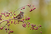 The song sparrow flew up from the thick grass to pause in a hawthorne bush.
